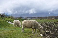 Sheep in Takizawa Farm (Nobeyema, Nagano, Japan)