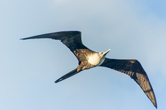 Magnificent Frigatebird, Antigua
