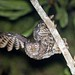 Akun Eagle Owl (Arthur Grosset)