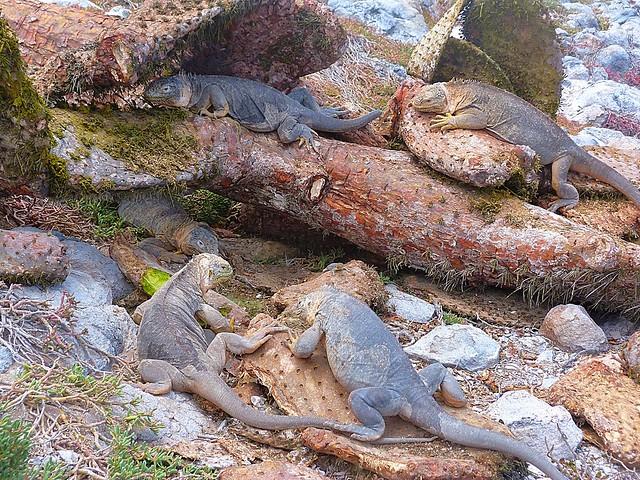 Iguanas terrestres en isla Plaza Sur (Galápagos)