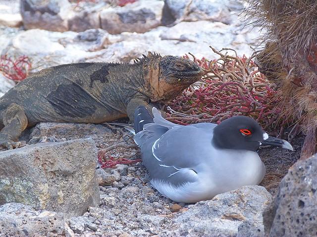 Iguana y gaviota de cola bifurcada empollando sus huevos en isla Plaza Sur (Galápagos)