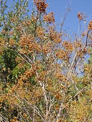 P102 Western Soapberry Tree (Sapindus saponaria var drummondii)