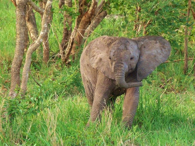 Bebé elefante en el Parque Kruger de Sudáfrica
