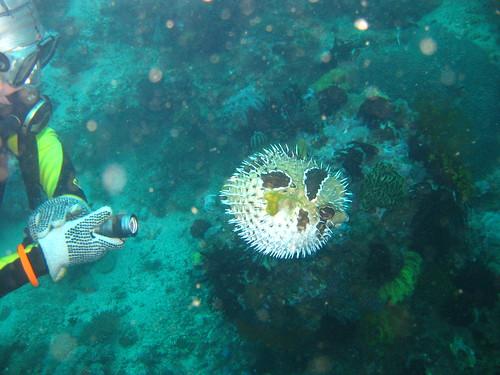 Pufferfish, Sabang, Puerto Galera