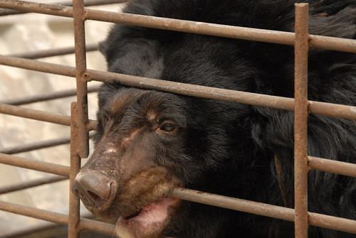 A moon bear desperately biting cage bars, China 2009