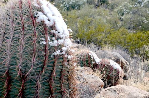 kaktussens