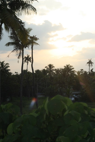 Coconut trees at sunset
