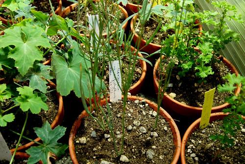P. laevigatum subsp. oxiphyllum