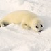 Le blanchon / Baby seal by Lucien-Guy