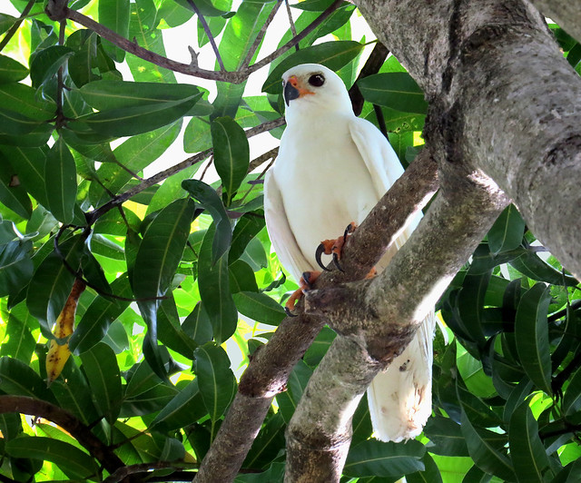 Header of Accipiter novaehollandiae