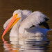 White Pelican by sheilatennes