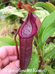 N. densiflora
