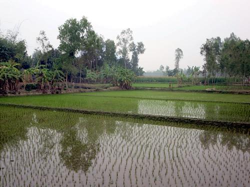 rice bangladesh paddies bogra hatikumrul