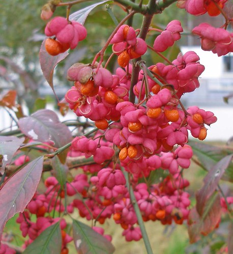 Fruit on spindle tree