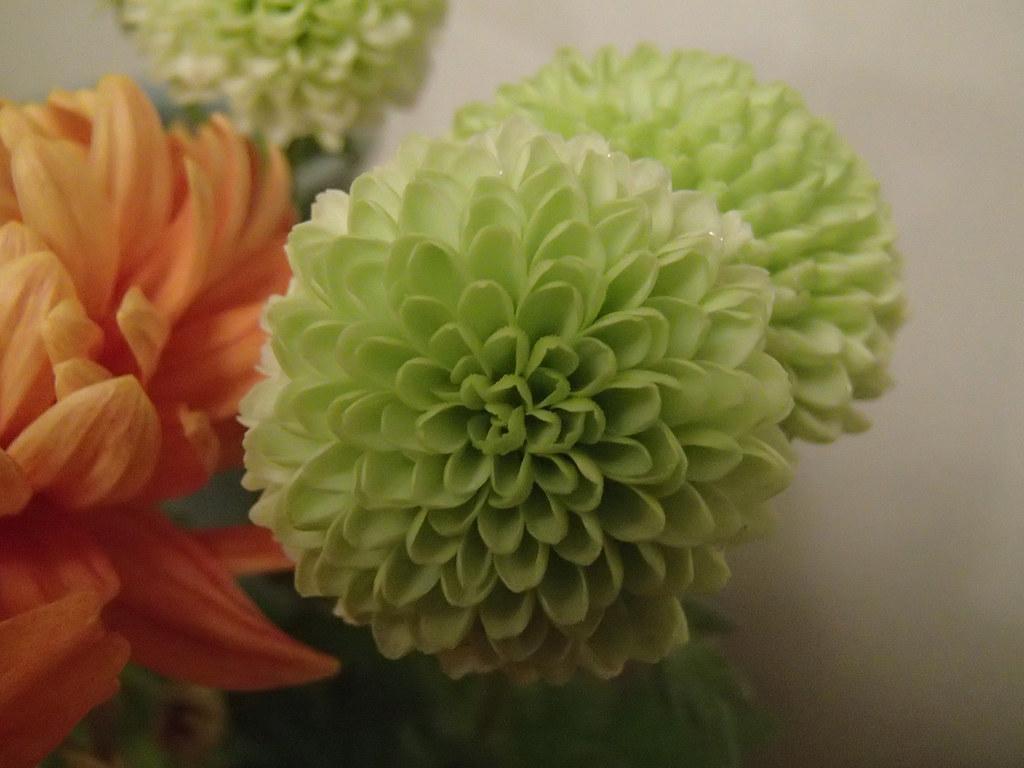Chrysanthemum 'Anastasia Green'