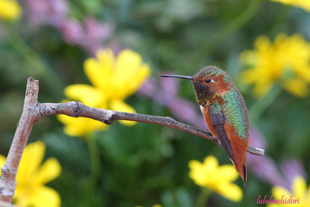 Allen's Hummingbird-111514