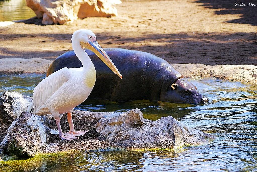 Bioparc Valencia_Africa Ecuatorial (1) Hipopotamo Pigmeo_Pelicano comun
