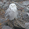 Marie's birds has added a photo to the pool:Snowy Owl at Eastern Point at Biddeford Pool this morning - 11/25/14