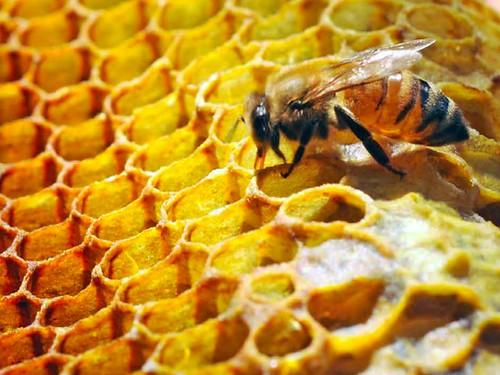 楊維晟作品 蜜蜂