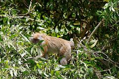 _MG_3135 Longtailed Macaque in Taman Alam Kuala Selangor