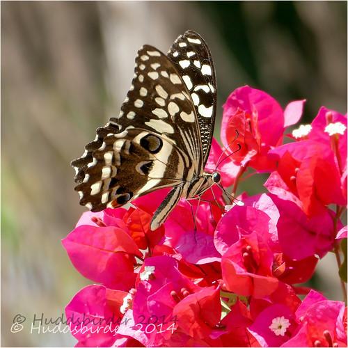 Citrus Swallowtail Butterfly  Farakunku
