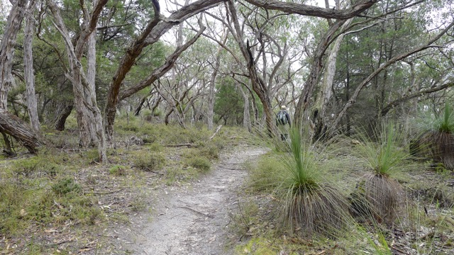 Grass Trees grow beneath trees leaning in all directions at the start of Mount Sturgeon Track