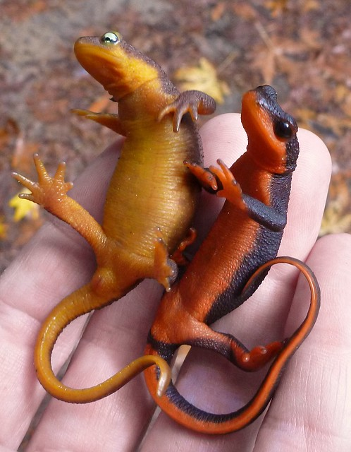 cal newt and red-bellied newt