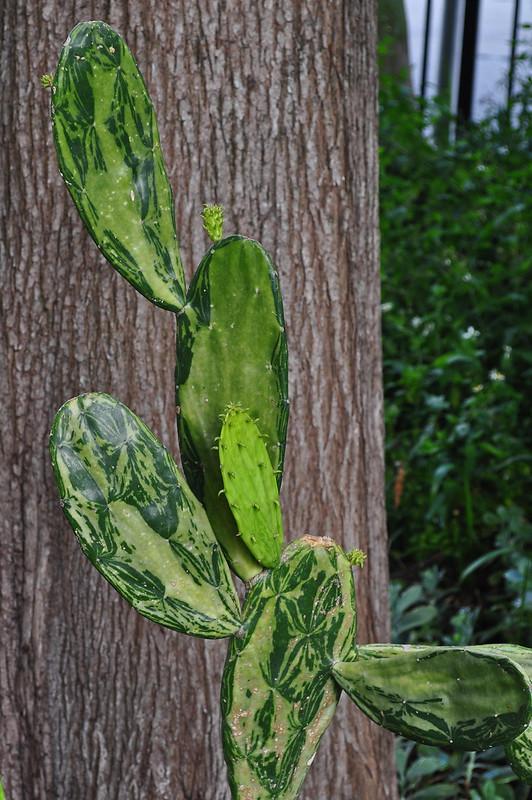 Opuntia (cochenillifera perhaps)