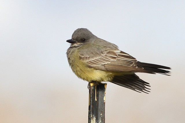 Cassin's Kingbird--Floyd Bennett Fields, NYC, NY
