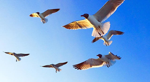 #beach #beachlife #birds #bluesky #cloudless #coastalliving #flight #florida #free #igersjax #igersjaxbeach #jacksonville #jacksonvillebeach #jaxlocals #nature #roamflorida #seagull #sunnyday #sunray #summer #thegoodlife