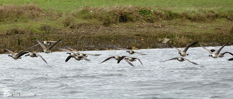 P1100074 - Canaga Geese, River Ogmore