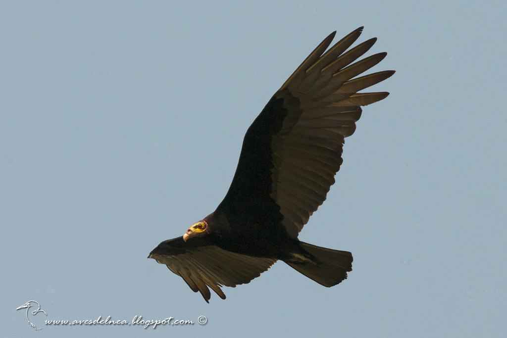 Jote cabeza amarilla (Lesser yellow-headed Vulture) Cathartes burrovianus