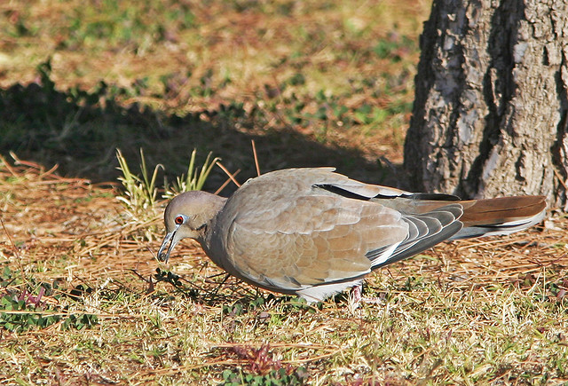 White-wing Dove 20d_8735