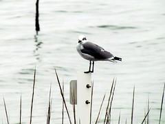 Sea Gull Harkers Island NC 3745