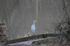 Grey Heron (Ardea cinerea)