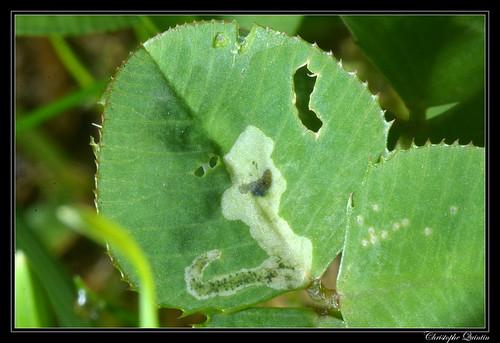 Mine et larve de Agromyza nana sur Trifolium repens