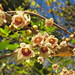 Small photo of Chimonanthus praecox (fragrant wintersweet)