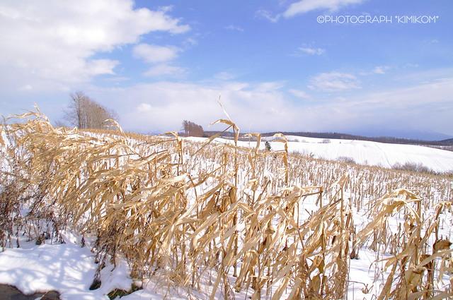 立ち枯れ玉蜀黍の丘1