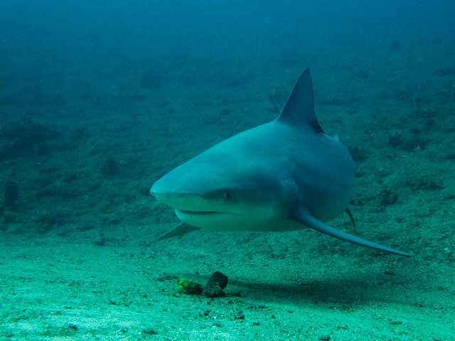 Bull Shark, Santa Lucia, Cuba