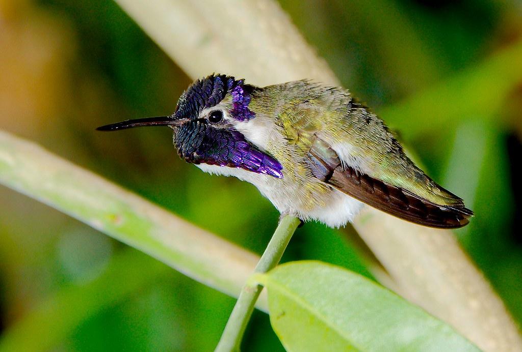 Hummingbird_14