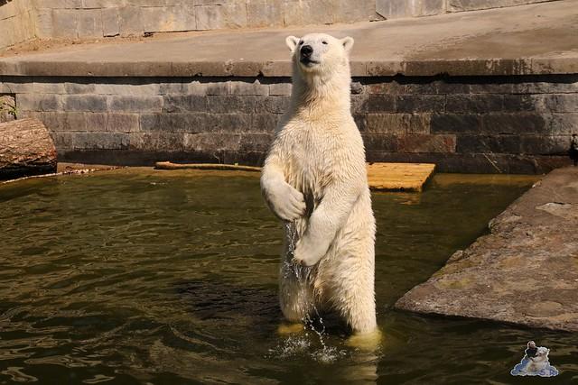Eisbär Fiete im Zoo Rostock 07.05.2016  0261
