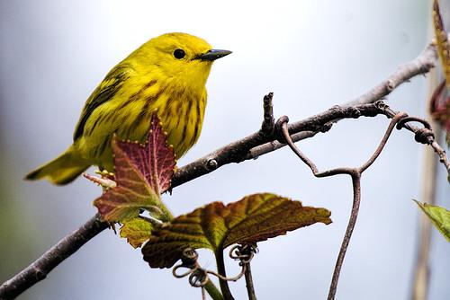 Jamaica Bay: Yellow Warbler