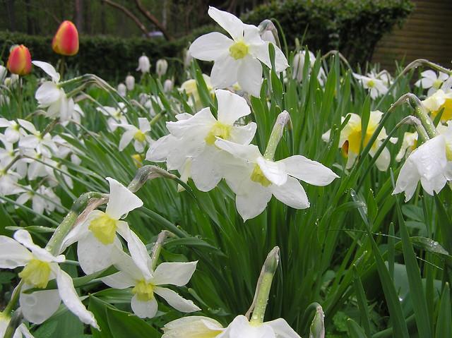 Narcissus cv