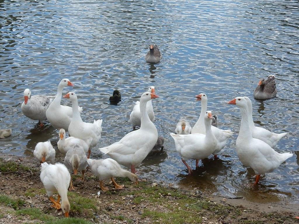 Geese Marlow Circular