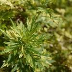 ヨモギ 東南植物楽園