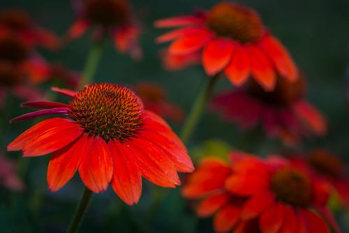 red summer orange flower color macro philadelphia nature beauty garden us flora nikon unitedstates pennsylvania coneflower d800e