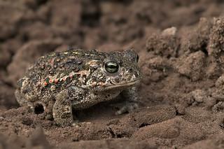 Natterjack Toad / Rugstreeppad