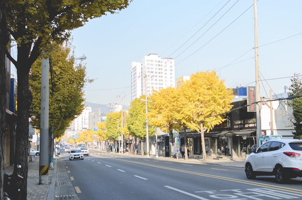 Busan_Gingko trees