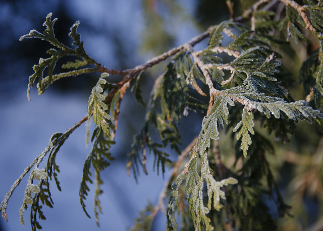 Frozen conifer