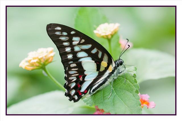 fabriciodo - Graphium doson butterfly